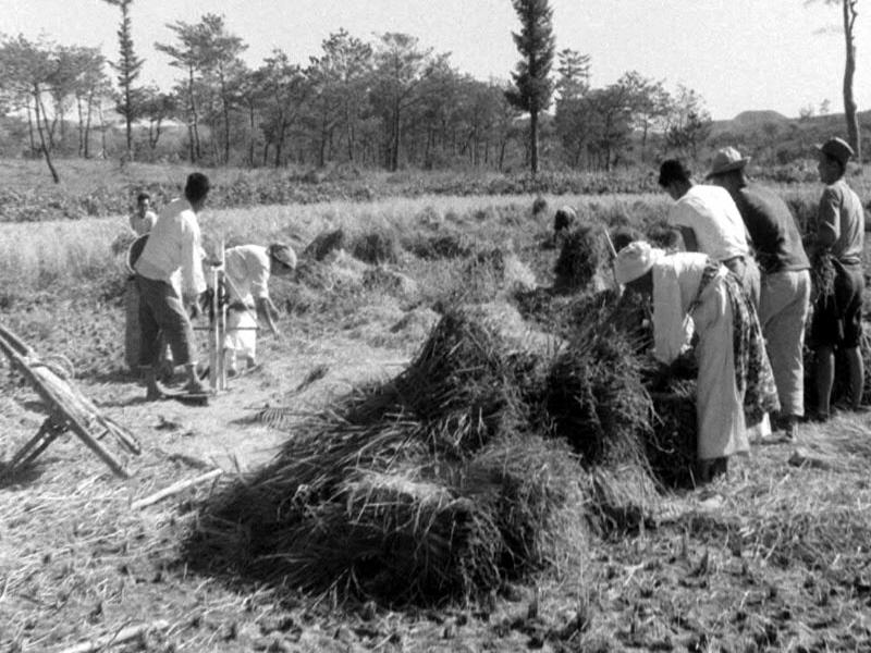 농촌벼수확광경3