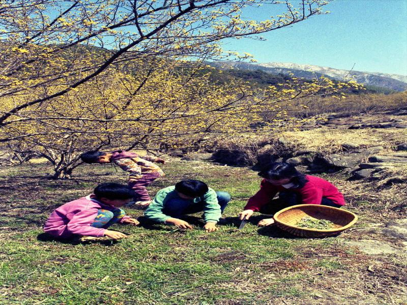 봄나물을 캐고 있는 어린이들2
