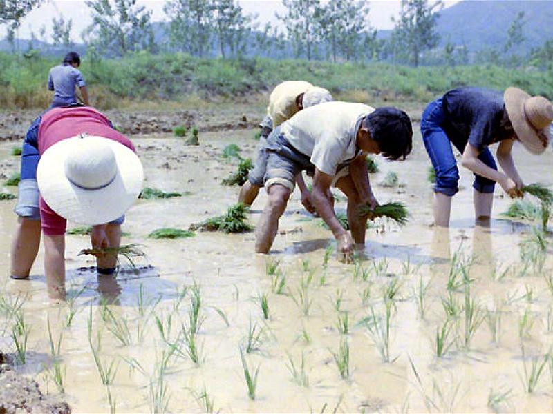 모심기에 열중인 농민 모습2