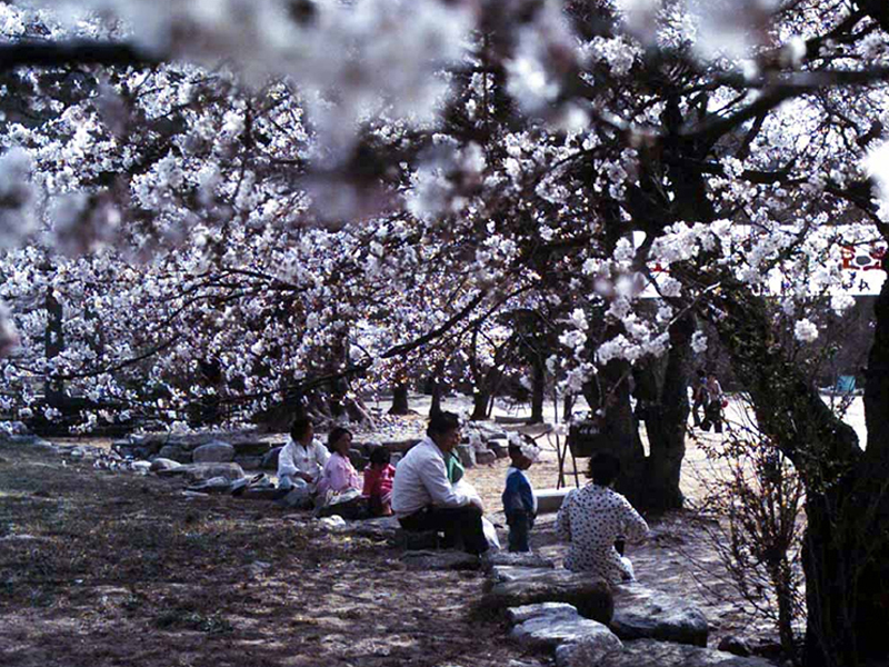 금산사 벚꽃3